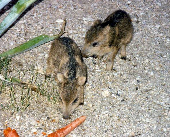Javelinas are southern arizona s wild pigs technically not pigs